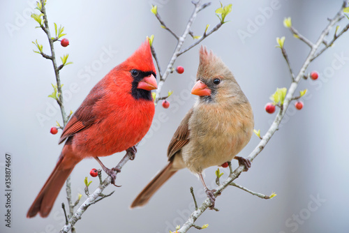 Fotografie, Tablou Red Bird or Northern Cardinal Mates Perched on Holly Branches