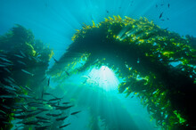 The Beauty Of The Kelp Forest ...