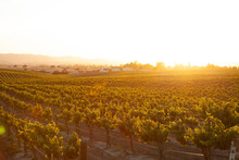 Romantic Vineyard At Sunset Wi...