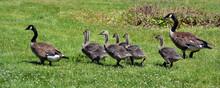 Canada Goose (Branta Canadensi...