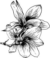 Vintage Hand Drawn Line Art Sketch Magnolias