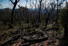 Burnt Forests In The Blue Mountains, Blackheath, NSW, Australia.