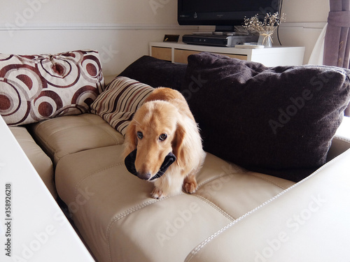 靴下をくわえた犬 Canvas Print