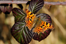 A Comma Butterfly Basking On A...