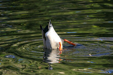 Duck Under Water: Male Drake Mallard Stretches His Hindquarters Upwards And Searches With His Head For Food