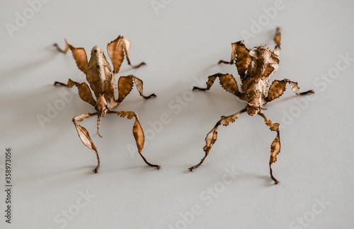 Fotomural two spiny leaf insects, a make on the left and a female on the right (Extatosoma