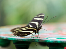 A Zebra Longwing Butterfly (Heliconius Charithonia)