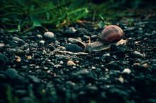 Snail On Pebbles
