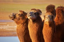 Three Camels In Mongolia