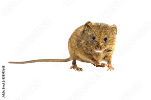 Fotografie, Obraz Cute harvest mouse isolated on white background