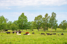 Cattles On Grass Meadow In The...
