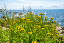 Flowering Tansy Flowers By The Water In The Summer