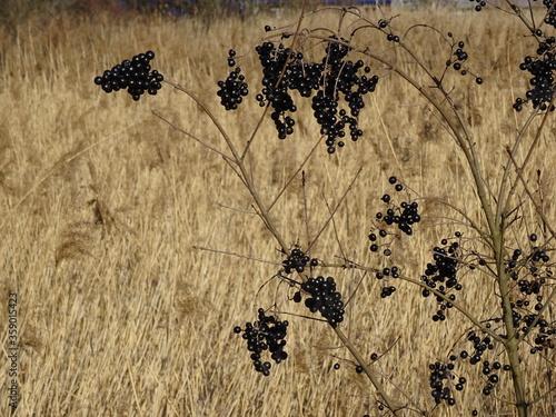Fototapeta premium Czarne grona na tle jasnych traw