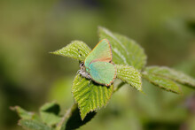 A Green Hairstreak Butterfly Perched On Bramble Leaves.