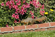 Eastern Fox Squirrel (fox Squirrel) Walking On Red Brick Wall Of Planter Filled With Flowers In Backyard Of Southern California Home, United States
