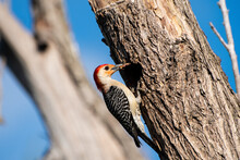 Red Bellied Woodpecker With Fo...