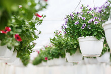 Flower Greenhouse In Daylight. Pink And Purple Petunias And Campanulas In White Pots