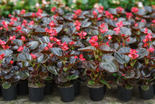 Industrial Growing Begonias In Greenhouse. A Lot Of Pink Flowers In Pots