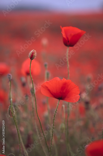 Fototapety, obrazy: Beautiful red poppies in the field, close-up.