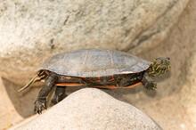 Turtle Awkwardly Balanced On Rock