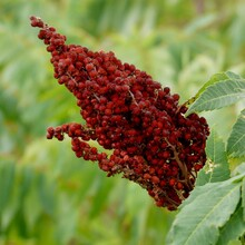 Smooth Sumac Berries In Blood Red Color In Green Leaf Bush