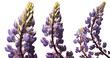 Lupinus flowers in various approximations on a white background