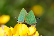 A Pair Green Hairstreak Butterfly On Yellow Gorse Flowers.