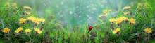Wide Banner. Beautiful Wallpaper Ladybug Crawls On A Leaf Of Grass Among Dandelions