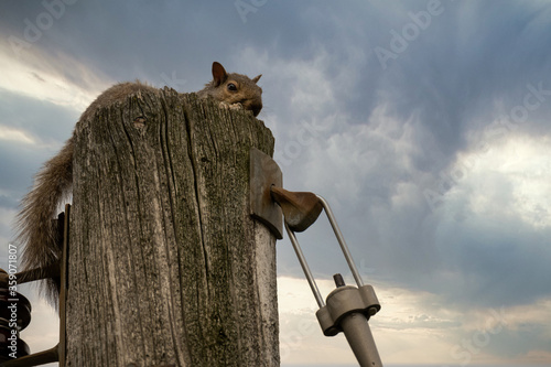 Valokuvatapetti Squirrel rodent on top of  telephone pole in storm