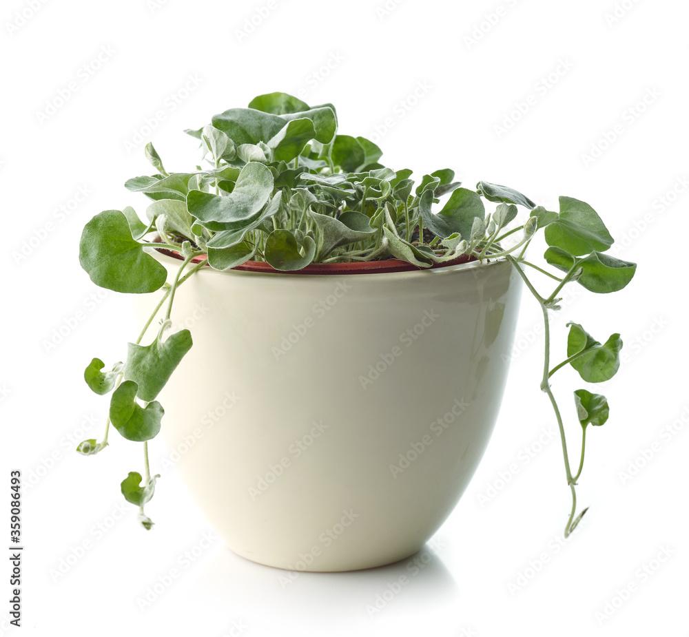 Fototapeta dichondra silver falls plant