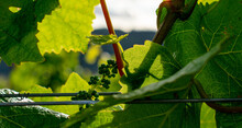 A Close Up Of Tiny Clusters Of Budding Grapes Nestled In Leaves On A Grapevine In An Oregon Vineyard.
