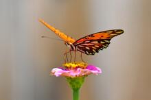 Gulf Fritillary Butterfly On A...