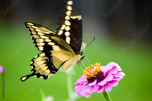 Giant swallowtail butterfly on a flower