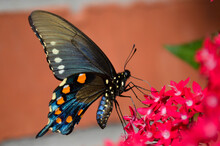 Pipevine Swallowtail On Pink P...