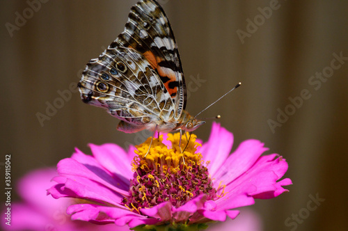 Painted lady butterfly on a pink zinnia
