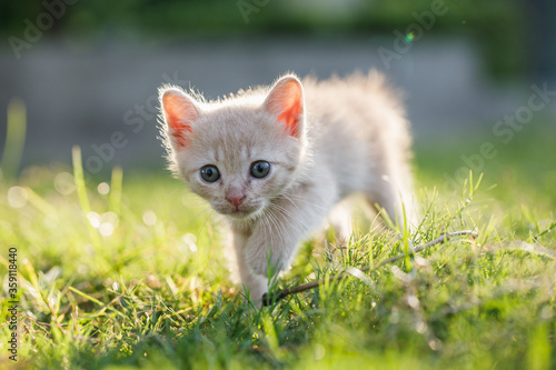 Photo Cute brown Scottish kitten walking and playing on lawn in park in morning