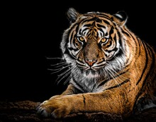 The Orange-gold Of The Tiger, ...