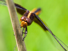 Widow Skimmer Dragonfly Closeup