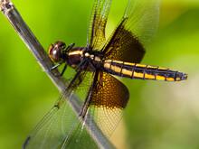 Female Widow Skimmer Dragonfly On A Branch