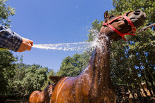 Arabian Horse With Red Bridle Being Showered With A Hose In A Hot Summer Day.