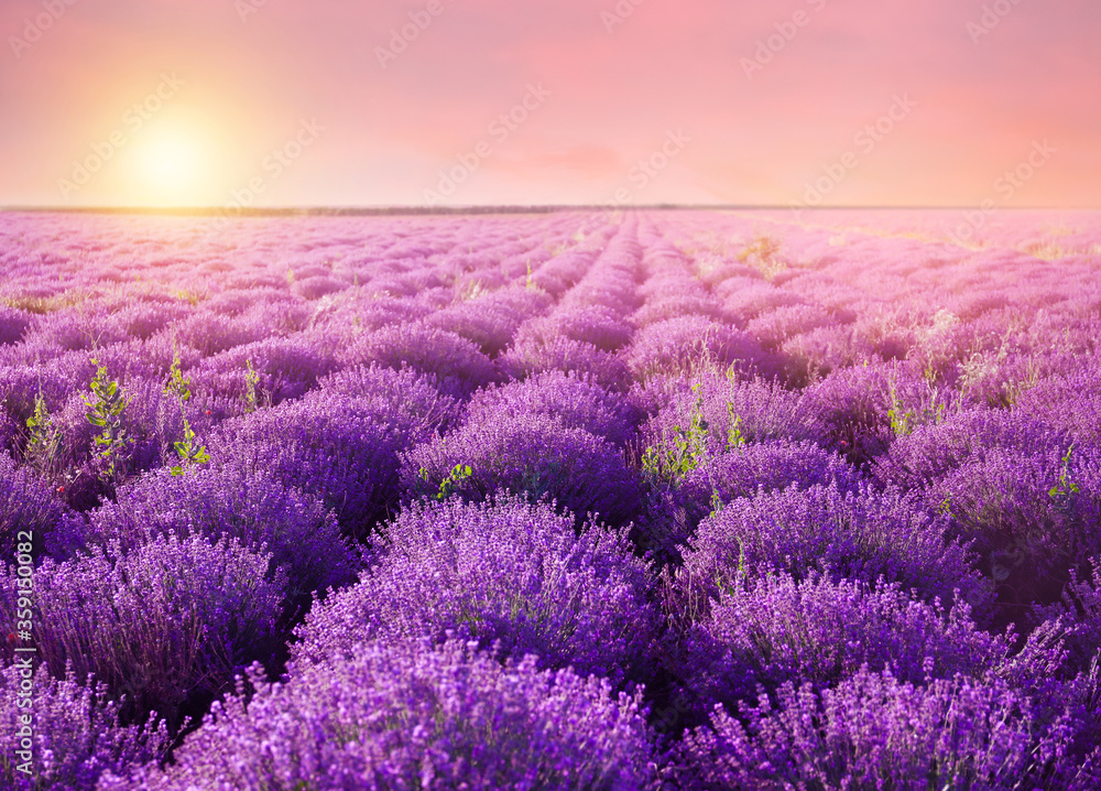 Fototapeta Beautiful blooming lavender in field on summer day at sunset
