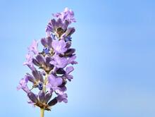 Purple Lavender Flower In Bloo...