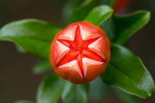 Cute Round Bright Orange Pomegranate Flower With Leaves #2