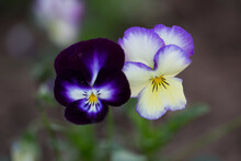 Two Phalaenopsis (butterfly Or...