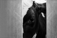 Cow In The Slaughterhouse, Look From Behind The Fence