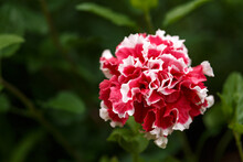 Large Double Terry Petunia Flowers Lush Red And White With Indented Petals In Summer Garden