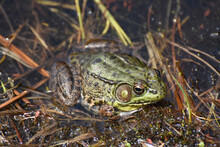 Large Frog In Marsh Grass And ...