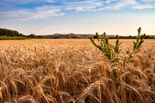 ".Field Of Wheat, Milk Thistle And Mountains ""two Sisters"" In The Rostov Region"