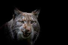 An Artistic View Of A Bobcat
