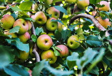 Close Up Of Apples Growing At ...